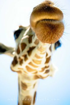 i think i am obsessed with giraffes