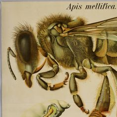 Apis mellifica. II. - Tab. 30 :: Library, Plant Sciences