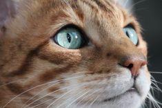 Katzenaugen #bengal #katze #cat #kater #cateyes Pets, Animals, Accessories, Cat Eyes, Animales, Animaux, Animal, Animais, Dieren