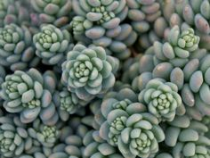 Sedum dasyphyllum 'Major' is a mound forming, evergreen perennial with many horizontal to erect, branching stem. Types Of Succulents, Cacti And Succulents, Planting Succulents, Garden Plants, Planting Flowers, Flowering Succulents, Sedum Plant, Tiny White Flowers, Desert Plants