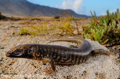 socotra animals | New reptile discovered in Socotra, South Arabia.