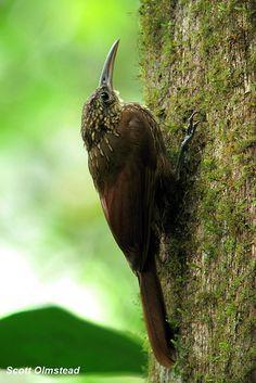 Streak-headed Woodcreeper (Lepidocolaptes souleyetii)   Flickr - Photo Sharing!