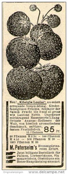 Original-Werbung/Inserat/ Anzeige 1910 - KÖNIGIN LOUISE ERDBEEREN / PETERSEIM ERFURT - ca. 40 x 110 mm