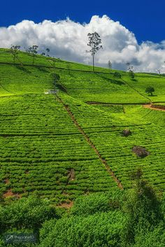 The sprawling tea fields of Ella, Sri Lanka >> Discover the beauty of Sri Lanka with these Photos | The Planet D Adventure Travel Blog | We have a soft spot for Sri Lanka, it is often at the top of our list of places we recommend to visit. We hope that after viewing these photos, you will feel the same way.: