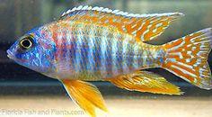 Red sun cichlid at Tampa Bay Cichlids