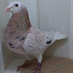 Pigeon Breeds, Pigeon Bird, Racing Pigeons, Birds, Pakistan, Animals, Brown, Pigeon, Animales