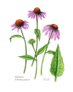 echinacea has the capacity to raise the body's resistance to bacterial and viral infections by stimulating the immune system. It also has antibiotic properties that helps relieve allergies. Basically, the roots are beneficial in the treatment of sores, wounds and burns. It was once used by the red indians as an application for insect bites, stings and snakebites. The echinacea grows on any well drained soil, as long as it gets sunlight.