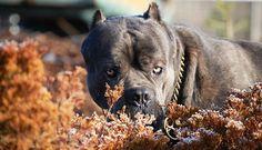 Семья пермских должников натравила на судебных приставов бойцовских собак http://kleinburd.ru/news/semya-permskix-dolzhnikov-natravila-na-sudebnyx-pristavov-bojcovskix-sobak/  Судебные приставы выселили из квартиры семью, которая не смогла расплатиться с банком за жилье. Однако новые владельцы, которые законно купили квартируеще долго не могли въехать, поскольку после вынесения судебного приговора приставам не сразу удалось исполнить его. Жилье бдительно охраняли четыре собаки…