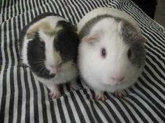 Dramatic guinea pigs! LOL