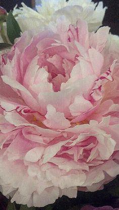 Peonies - nog even en ze bloeien hier weer volop. Kan haast niet wacht… zucht!