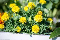 Salvia, Marigold, Herbs, Gardening, Plant, Sage, Lawn And Garden, Herb, Horticulture