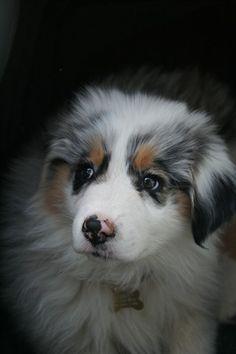 Viewing Album: Puppies Blue Merle