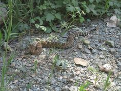 Warmer weather is bringing out snakes, including rattlesnakes, in Northern California. Snake Free, Plant Therapy, Homestead Living, Northern California, Snakes, Pretty Flowers, Bring It On, Weather, Chicken Coops