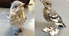 Uma filhote de passarinha da espécie Imitador-poliglota (Mimus polyglottos) resgatado pelo centro de...