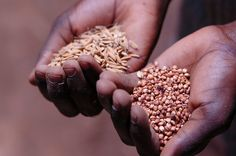 Read the 4 things the FAO says needs to happen if the world is to meet the Millenium Development Goals on hunger by 2015...  http://www.one.org/us/2013/10/02/4-things-the-fao-says-nations-must-do-to-reach-global-hunger-mdg-by-2015/  #food #hunger #mdg #agriculture #africa