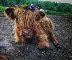 Happy Midsummer everyone!🐮 #highlandcattle #renegade_rural #cow #cows #cattle #cowsofinstagram #牛 #be_one_rural #country_features #farmlife…