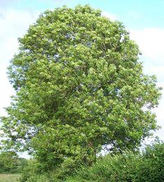 Ash tree