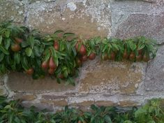 espeliered fruit   Espalier fruit trees, House of Dun, near Montrose, Scotland