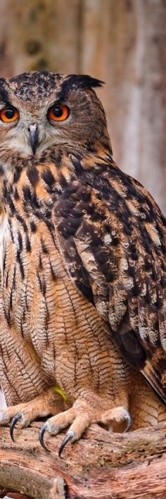 Eagle Owl / Look at those feet, and claws!!