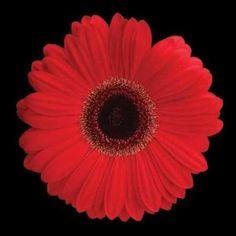 Cuadro Gerbera Daisy Red