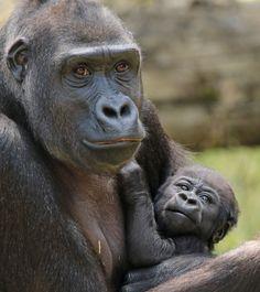 https://flic.kr/p/vppsGr | gorillla Milliki en baby Krefeld JN6A6755