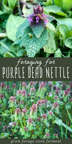 """Purple dead nettle is an easy to forage edible and medicinal plant that is most likely growing in your backyard or somewhere nearby! You've probably seen this """"weed"""" and didn't even know that it has edible and medicinal uses. Medicinal Weeds, Edible Wild Plants, Garden Weeds, Wild Edibles, Organic Gardening Tips, Healing Herbs, Growing Herbs, Herbalism, Backyard"""