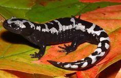 marbled salamander | WV