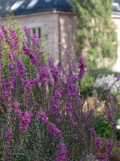 50 høstblomstrende stauder for - Moseplassen Perennials, 50th, Planters, Pink, Shadows, Garten, Planter Boxes, Plant, Flower Pots