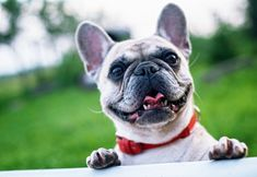 The major breeds of bulldogs are English bulldog, American bulldog, and French bulldog. The bulldog has a broad shoulder which matches with the head. The skin of the Dog Quotes Funny, Funny Dogs, Cute Dogs, Laugh Quotes, Adorable Puppies, Funny Animals, Animals Dog, Best Dog Breeds, Best Dogs