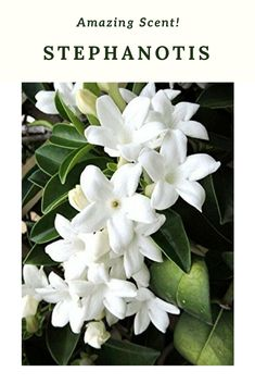 Also is also called the 'Hawaiian Wedding' flower since brides in Hawaii enjoy using the extremely fragrant flowers in their wedding bouquets & leis. The creamy white blossoms of the Stephanotis vine have a dreamy scent similar to Gardenia.Try your hand at this very easy to grow vine as a houseplant or outdoors if you live in a warmer climate. #ad #garden #gardening #gardenia #hawaiianweddingflower #weddingflowers #vines #flowers #stephanotis
