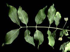 A faj kettős latin neve: Euonymus europaeus Magyar név:csíkos kecskerágó Család:Celastraceae Rend:Celastrales Életforma:N,M  Termés:tok