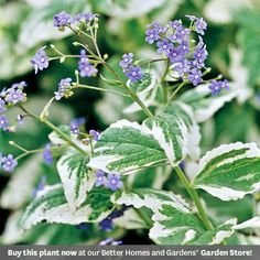 Brunneraf: For spring, shade gardens  While the plant is often short-lived, it does tend to self-seed, becoming a long-term presence in the garden.  Test Garden Tip: Brunnera is somewhat deer- and rabbit resistant.  Top Picks: 'Hadspen Cream' offers green leaves broadly edged in creamy white; 'Jack Frost' has green leaves heavily overlaid with silver.  Plant with forget-me-nots for a blue on blue combo.