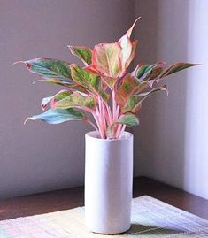Siam Aurora RED Aglaonema (Chinese Evergreen) - Stunning Plant for Medium Size Pot House Plants Decor, Plant Decor, Plant Wall, Chinese Evergreen Plant, Perfect Plants, Plants Online, Different Plants, Outdoor Plants, Tropical Plants