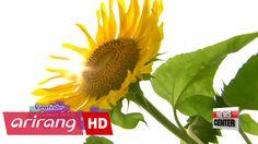 Viewfinder _ Sunflower fields