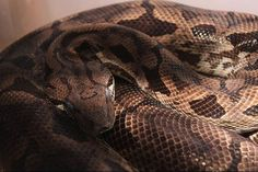 Common Health Issues & Questions for Dumeril's Boa Owners Reptiles And Amphibians, Health, Boas, Health Care, Salud