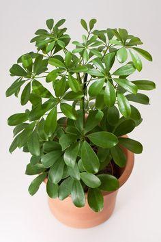 Umbrella Plant - How to Grow and Care For the Schefflera Arboricola