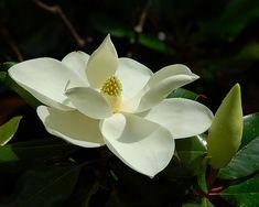 Magnolia | Magnolia virginiana