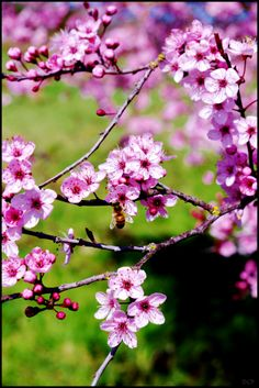 .I love these Cherry Blossom Trees