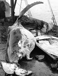 Knølhval flenses ombord i kokeriet