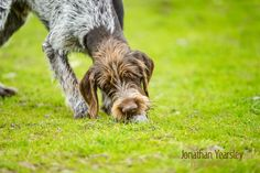 Multi Award winning, qualified, dog and equine photographer in Cheshire and North Wales - producing fine art images for discerning clients. Lifestyle Photography, Animal Photography, German Wirehaired Pointer, Pointer Puppies, Catus, Dogs Of The World, Dog Portraits, Mans Best Friend, Pointers