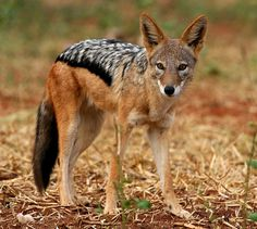 The Black-backed Jackal - Canis mesomelas, is  a species of jackal which inhabits two areas of the African continent separated by about 900 km