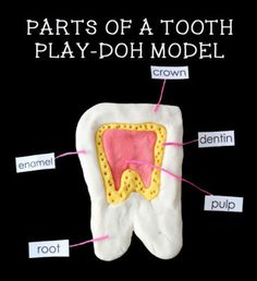 Create a model of a tooth using play-doh. A great dental health activity for kids.