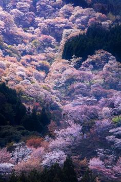 Cherry tree in full bloom,Yoshino, Nara, Japan♫♫♥♥♫♫♥♥♫♥JML