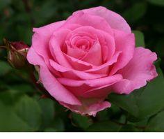 Beverly Hybrid Tea Rose (fragrant)