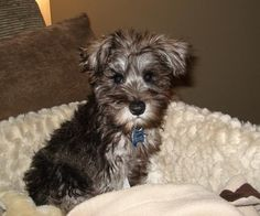 Miniature Schnauzer Puppy