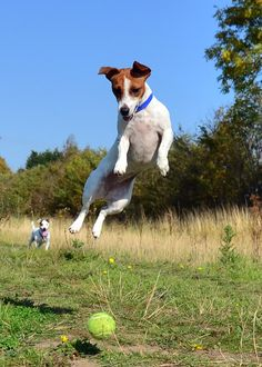 Jack Russell Terrier's and their tennis balls.........it's a serious thing!