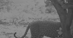 Leopard Spotted At Game Reserve In Bauchi After Not Being Seen For Decades.PICS