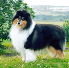 Looks just like Candray did :) I will have a Rough Collie again someday