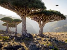 Socotra kind of looks like it was transported to Earth from a distant planet. The UFO-like dragon's blood trees are the island's most notable feature.