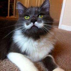 Resultado de imagem para gato Hamilton tem pelagem que lembra um bigode